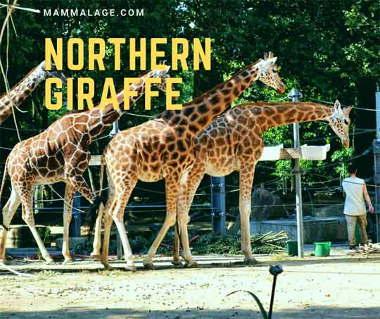 Northern Giraffe Facts, Habitat and Reproduction