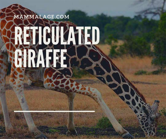 Reticulated Giraffe Facts, Intelligence, Habitat and Diet