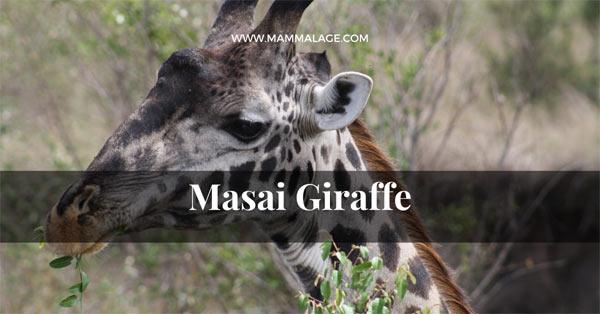 Masai Giraffe – Facts | Description | Characteristics | Profile