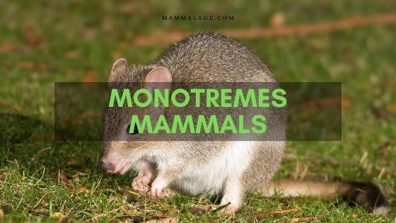 Monotremes Mammals Facts and Description