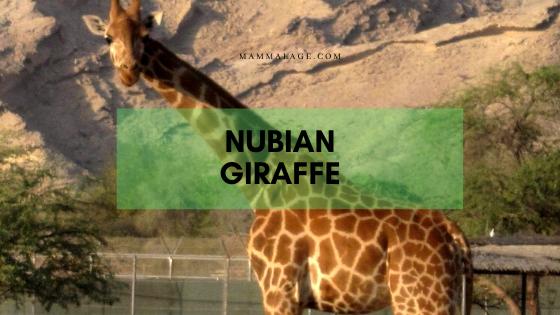 Nubian Giraffe Facts, Habitat, Diet and Conservation