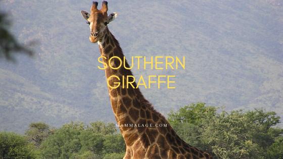 Southern Giraffe – Profile | Facts | Description | Habitat