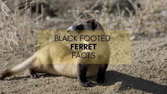 Black Footed Ferret (Mustela nigripes) – Facts | Diet | Habitat