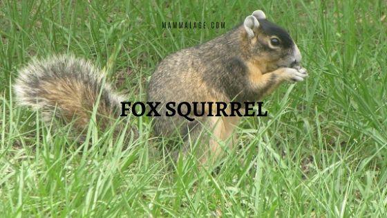 Fox Squirrel (Sciurus niger) – Profile | Facts | Description