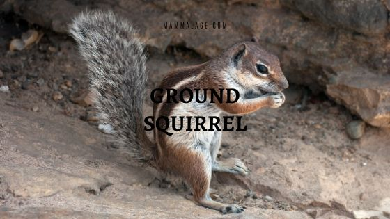 Ground Squirrel – Overview, Facts, Traits, Profile, Habitat