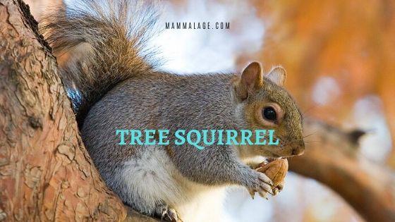 Tree Squirrel – Profile| Facts | Nest | Lifespan | Habitat | Sound