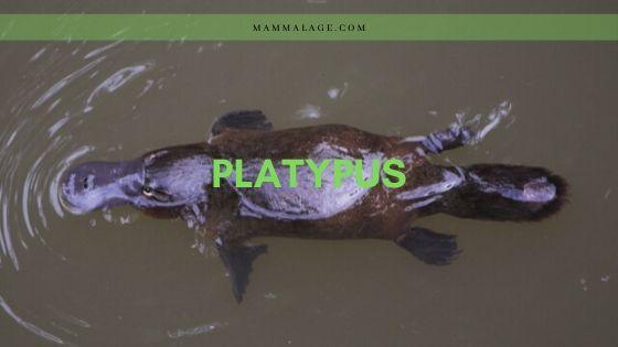 Platypus (Ornithorhynchus anatinus) – Facts   Profile