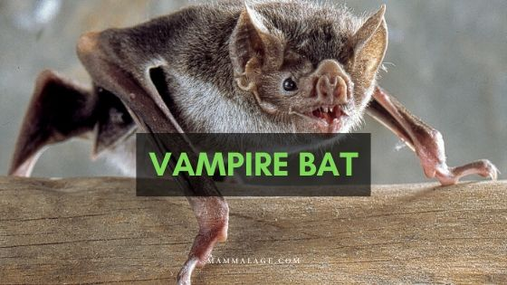 Vampire Bat – Are They Dangerous? Profile | Traits | Facts