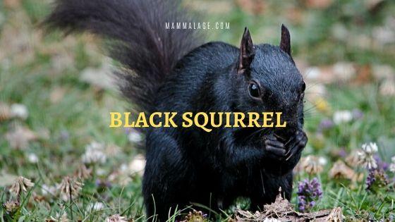 Black Squirrel – Profile | Distribution | Habitat | Facts