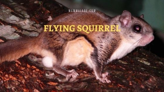 Flying Squirrel – Profile | Description | Odors | Life Cycle | Diet