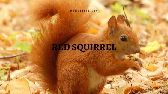 Red Squirrel | Cirrus vulgaris – Profile | Habitat | Facts | Food