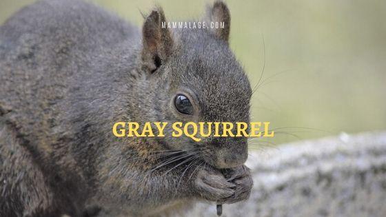 Gray Squirrel – Profile | Communication | Habitat | Behavior