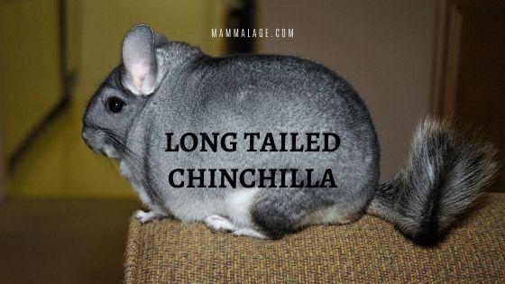 Long Tailed Chinchilla – Profile | Facts | Habitat | Diet | Predators