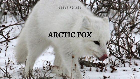 Arctic Fox – Description | Profile | Conservation