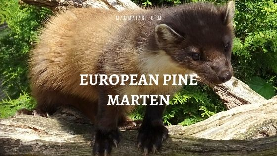 European Pine Marten – Profile | Facts | Diet | Habitat | Size