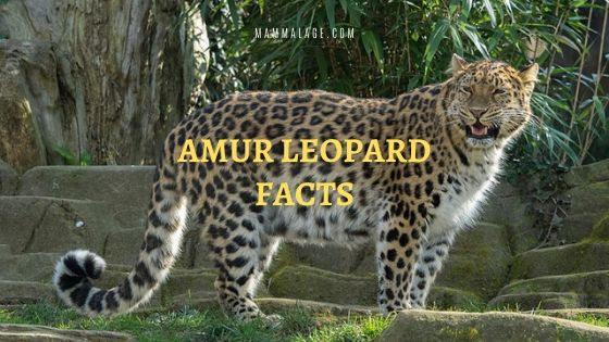 53 Amur Leopard Facts and Information