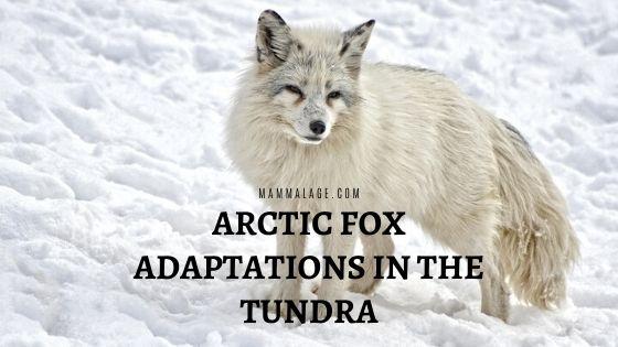 Arctic Fox Adaptations in the Tundra Region