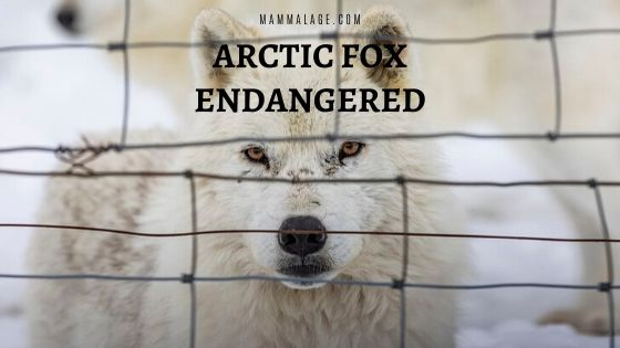Arctic Fox Endangered – Threats and Conservation
