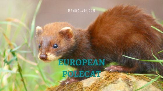 European Polecat – Ferret | Facts | Diet | Habitat