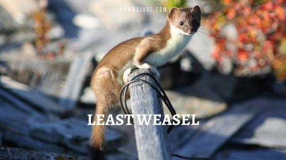 Least Weasel | Mustela Nivalis | Lesser Weasel Facts