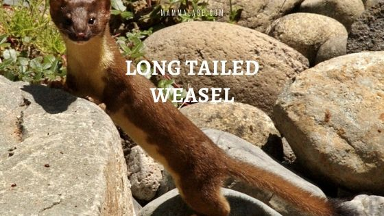 Long-Tailed Weasel – Facts | Habitat | Size | Diet | Profile