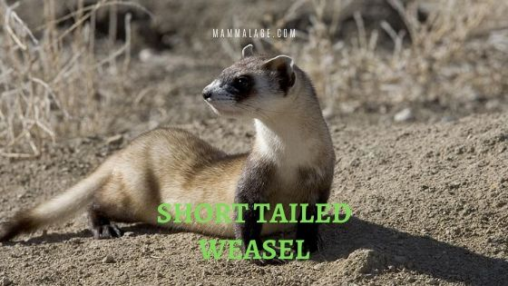 Short Tailed Weasel or Stoat Facts and Description