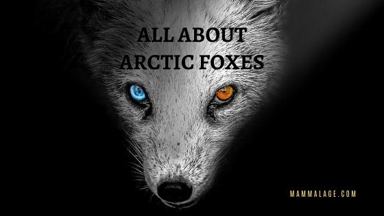 All About Arctic Foxes – Facts | Profile | Adaptation