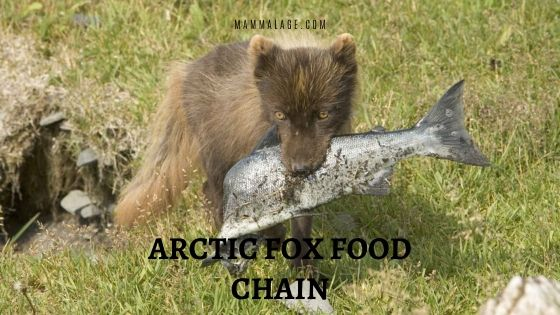 Where does Arctic Fox Stand on the Food Chain?