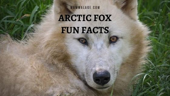 60 Arctic Fox Fun Facts – Interesting Facts to Know