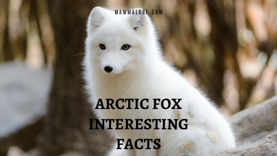 50 Arctic Fox Interesting Facts to Surprise Anybody