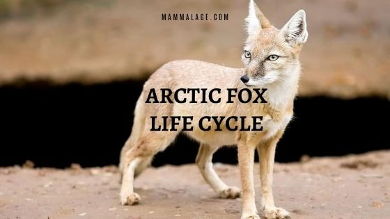 Arctic Fox Life Cycle – Stages | Facts | Information