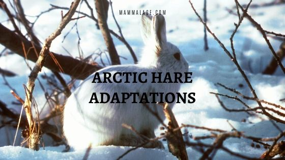 Arctic Hare Adaptations and Survival Factors