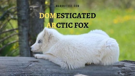Domesticated Arctic Fox – Can There Be a Pet Fox?