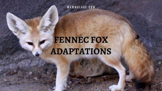 26 Fennec Fox Adaptations and Survival Factors
