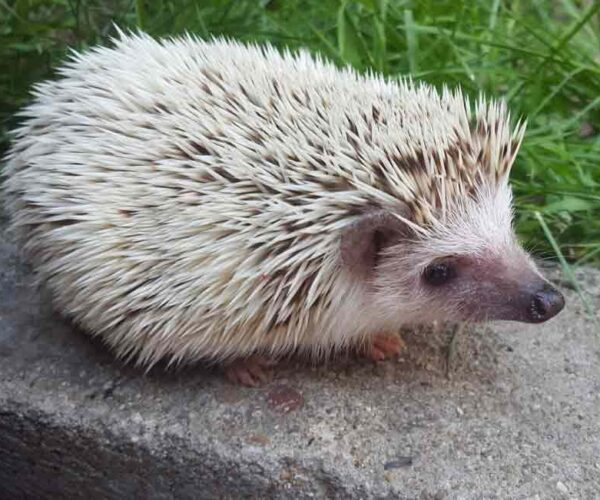 African Pygmy Hedgehog – Pet | Profile | Facts | Traits | Habitat | Color