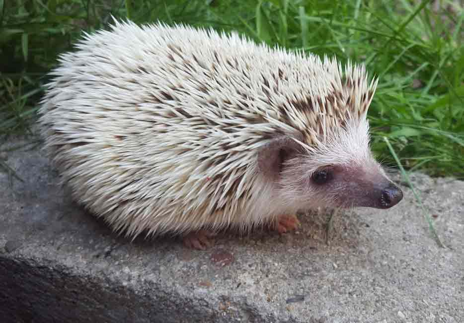 African Pygmy Hedgehog – Pet   Profile   Facts   Traits   Habitat   Color