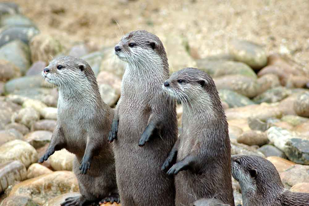 African Clawless Otter – Profile | Traits | Facts | Baby | Habitat | Pet