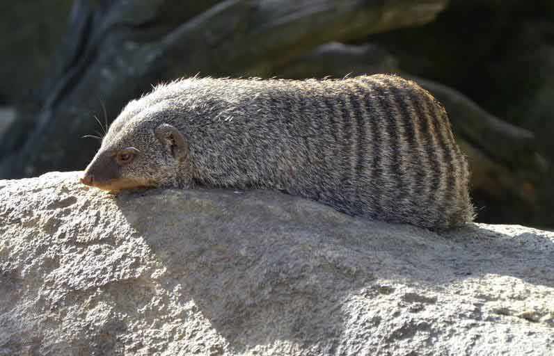 African Striped Weasel – Profile | Traits | Facts | Diet | Behavior