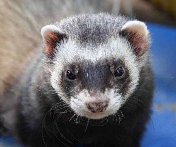 Amazon Weasel – Profile | Traits | Facts | Description