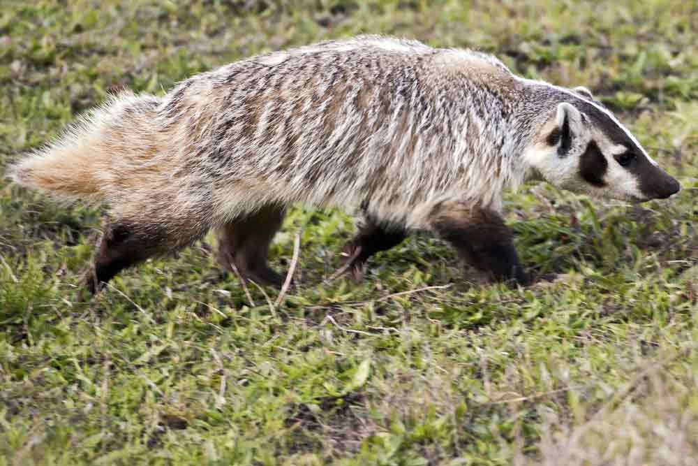 American Badger – Profile | Traits | Facts | Skull | Habitat | Angry