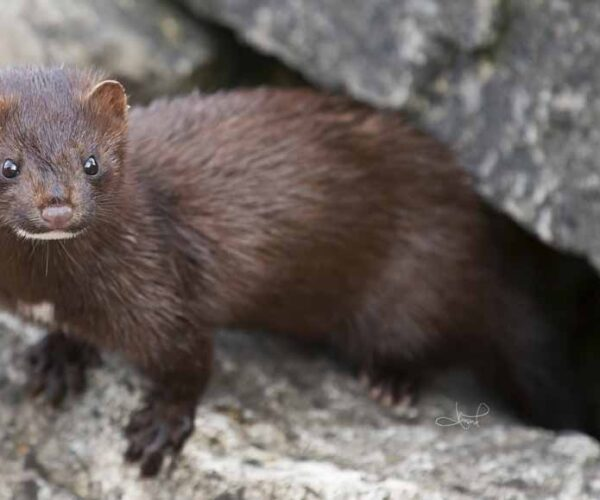 American Mink – Profile | Traits | Facts | Skull | Size | Baby | Tracks