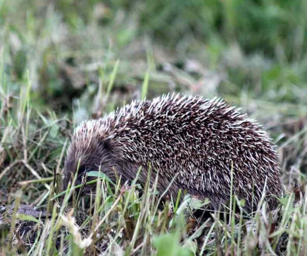 Amur Hedgehog – Profile | Facts | Traits | Distribution | Diet