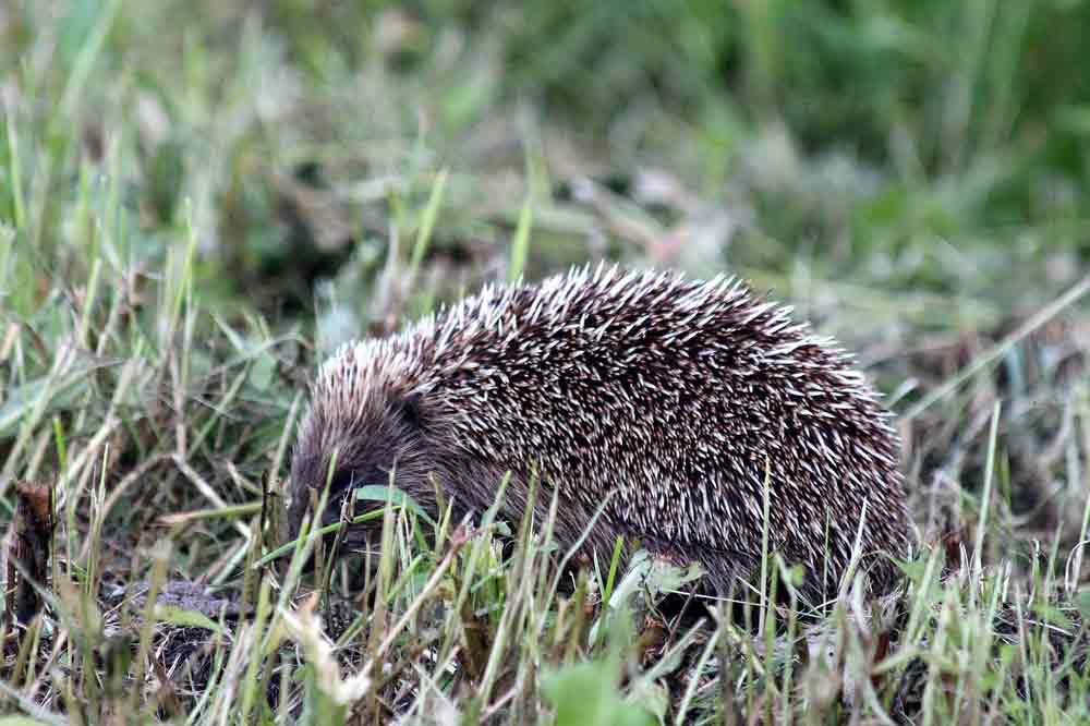 Amur Hedgehog – Profile   Facts   Traits   Distribution   Diet