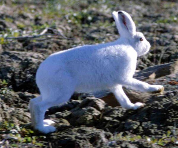 Arctic hare – Profile   Traits   Facts   Babies   Reproduction   Size