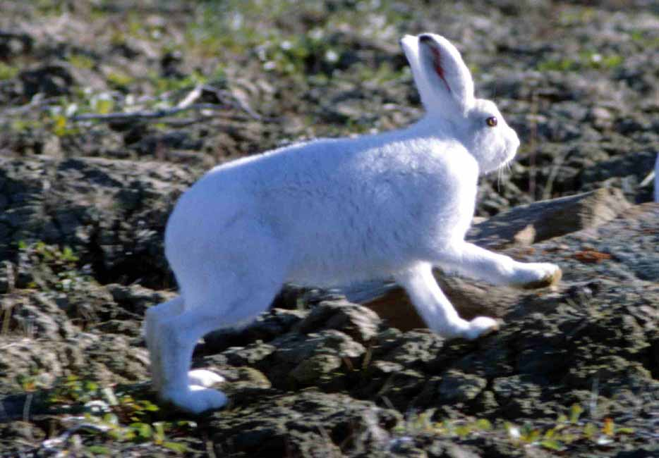 Arctic hare – Profile | Traits | Facts | Babies | Reproduction | Size