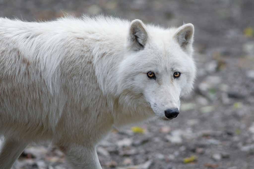 Arctic Wolf – Profile | Traits | Facts | Weight | Skin | Baby | Eyes