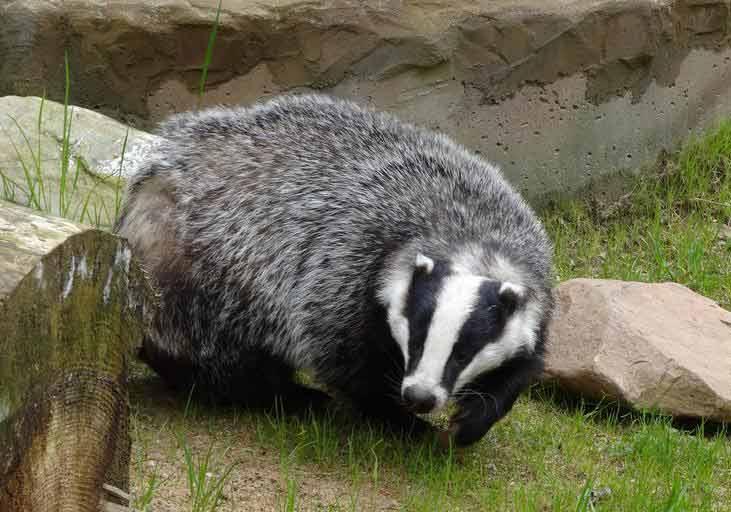 Asian Badger – Profile | Traits | Facts | Behavior | Diet | Range