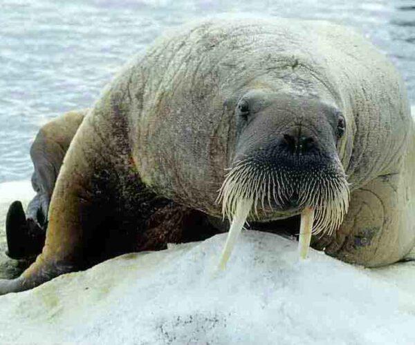 Atlantic walrus – Profile   Traits   Facts   Teeth   Habitat   Baby