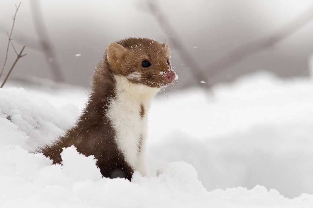 Beech Marten – Profile | Traits | Facts | Size | Track | Baby