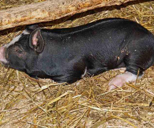 Berkshire Pig – Profile | Characteristics | Facts | Ears | Breeds